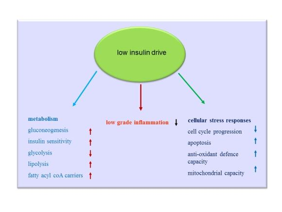 Low Insulin Drive Effects